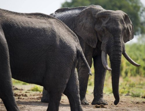 Trump administration reverses ban on import of elephant trophies